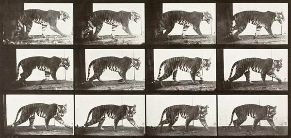 Foto de Crítica: Tigress Walking (1887)